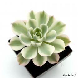 Echeveria 'Compton Carousel' - Echeveria variegata