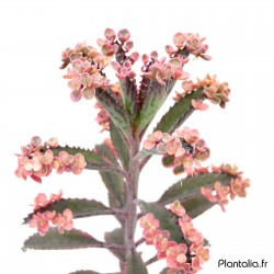 Kalanchoe 'Pink Butterflies' - Kalanchoe 'Houghton's Hybrid'