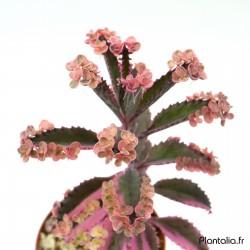 Kalanchoe 'Pink Butterflies' variegata - Double têtes - New 2019