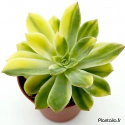 Echeveria 'Bob Jolly' variegata