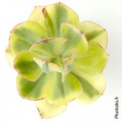 Echeveria 'Angpang' variegata