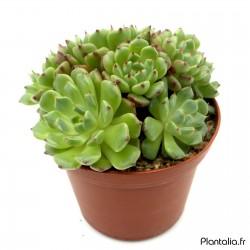 Echeveria minima cv. Miniouhikou