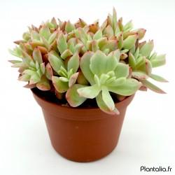 Echeveria 'Luella'