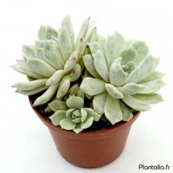 Echeveria 'Mary Bell' - 9 cm