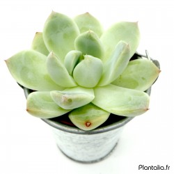 Echeveria 'Alba Beauty'